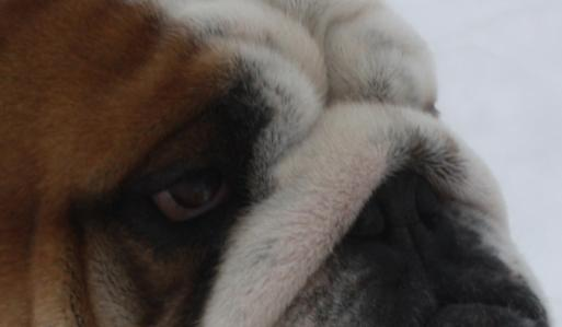 english bulldog puppies for sale ny nj pa ma va bulldog breeders