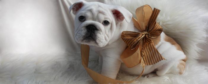 Gray English Bulldog Puppies For Sale English bulldog puppies for